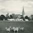 Sheep grazing on Westgate Fields, 1957