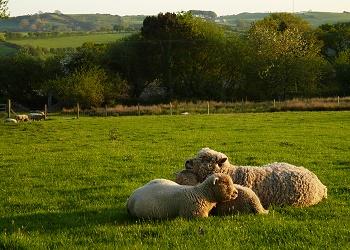 Southdown Sheep - Gareth Lloyd Hughes